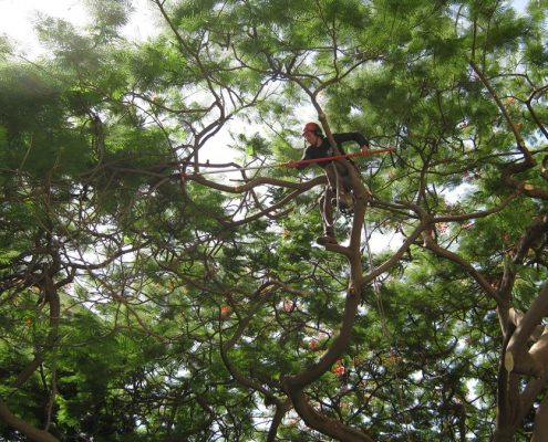 שי לגץ גיזום עצים בטיפוס