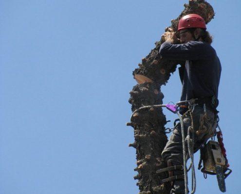 גיזום עצים בטיפוס מקצועי עם שי לעץ